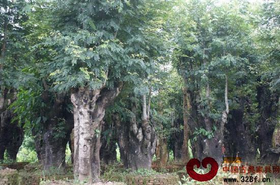 红木树叶子图片大全带名称