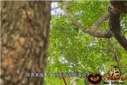 盛世红木(四):识木(视频)