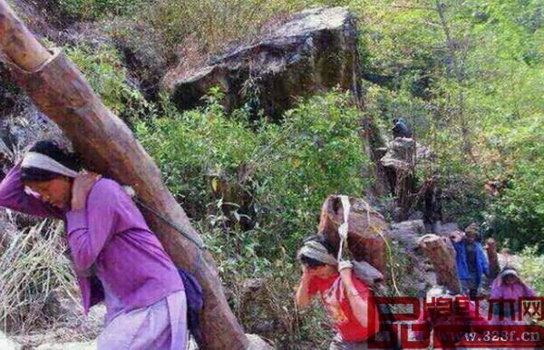 尼泊尔山区的边民每背一根紫檀上山可得400尼币(合40元人民币)