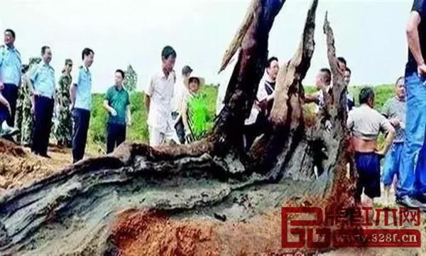 经专家初步鉴定,村民发现的确为千年以上的乌木