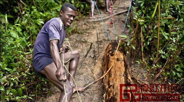 伐木者常常为了寻找一颗树而在森林里长途跋涉数日
