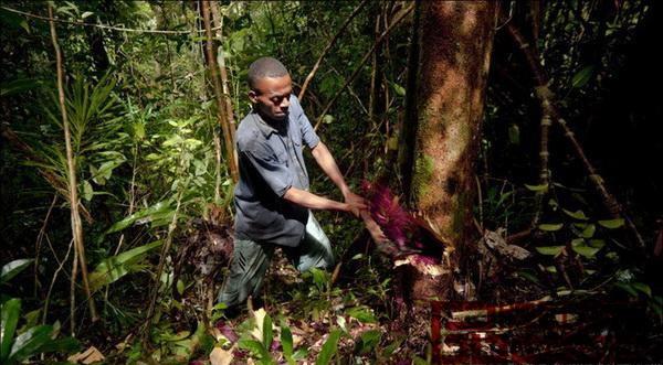 马达加斯加非法采伐珍贵红木木材的现象愈演愈烈