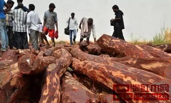 被缴获的印度紫檀原木