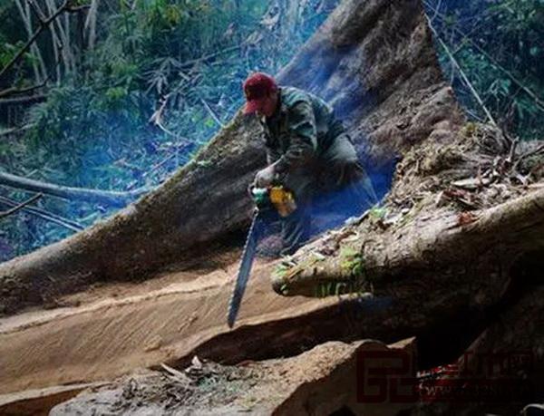 东南亚红木资源砍伐令人堪忧