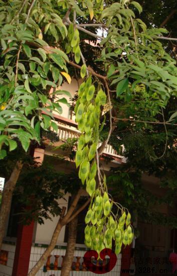 海南黄花梨的种植方法