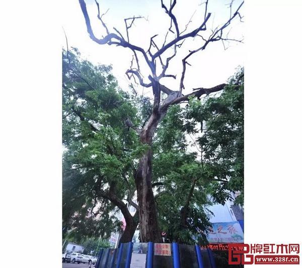 海南农垦大院黄花梨枯树