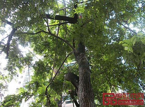 大多数红木树种成材时间长