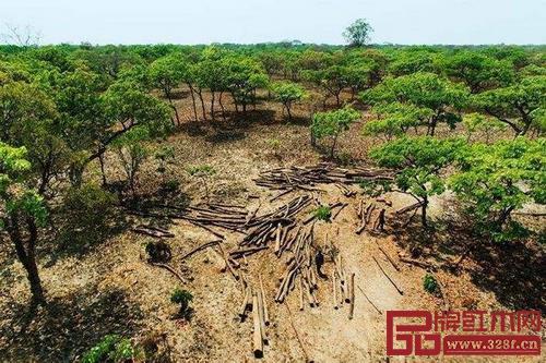人工种植红木在印度、缅甸等国已开始