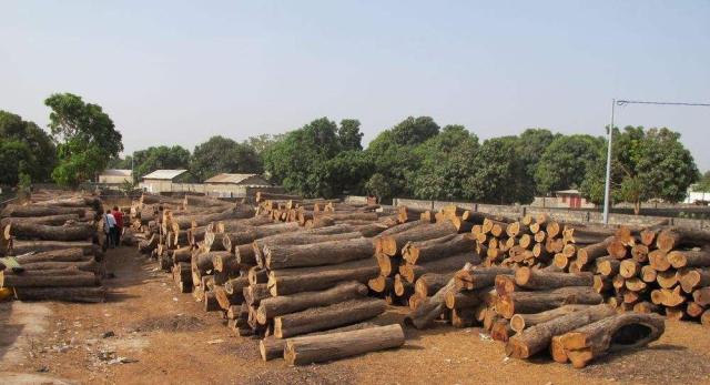 冈比亚刺猬紫檀市场的变化 让经营状况更为惨烈