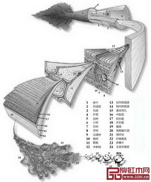 图2_ 木材细胞生长机制